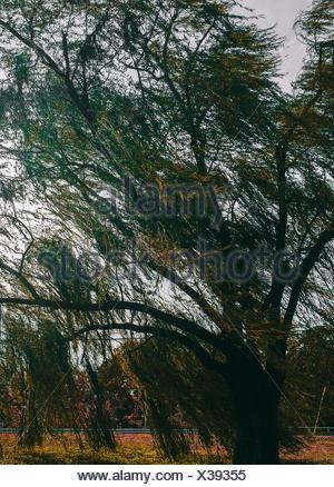 Low Angle View Of Weeping Willow Tree In Park - Stock Photo