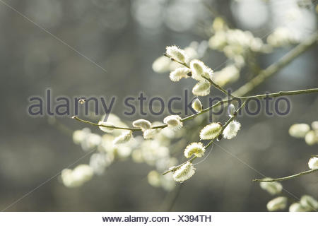 Willow tree, Salix spec., detail, twigs, flower kittens, back light, plant, shrub, pasture, willow family, catkin, blossom, spring, season, - Stock Photo