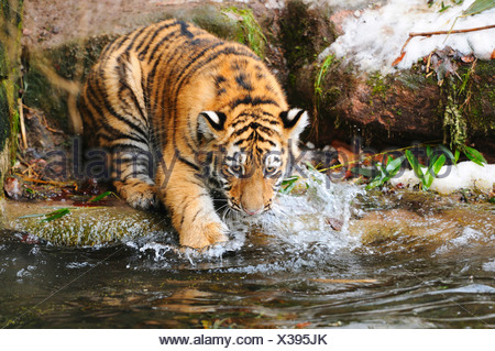 young Siberian Tiger drinking / Panthera tigris - Stock Photo
