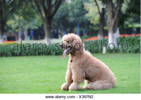 tree park animal pet portrait dog poodle outdoor puppy day during the day lovely breed put sitting sit curl canine purebred - Stock Photo