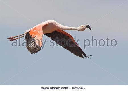 Chilean Flamingo (Phoenicopterus chilensis) in flight in Bolivia, South America. - Stock Photo