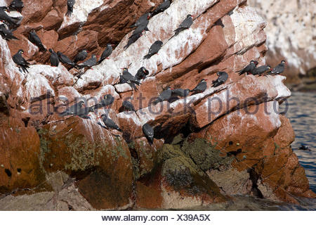 Inca Tern, larosterna inca, Group on Rocks, Ballestas Islands in Paracas National Park, Peru - Stock Photo