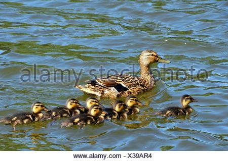 entenfamilie - Stock Photo