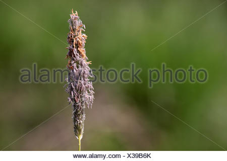 meadow foxtail - Stock Photo