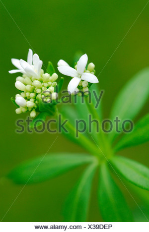 Sweet Woodruff - Stock Photo
