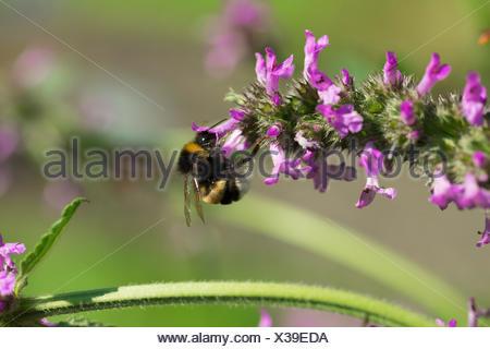 Bee on flower macro - Stock Photo