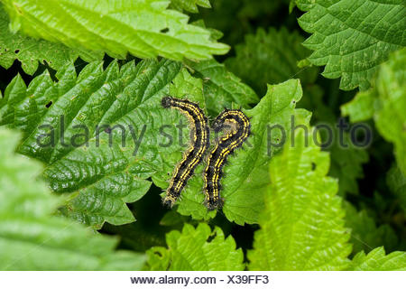 small tortoiseshell (Aglais urticae, Nymphalis urticae), two caterpillars sitting on a nettle feeding, Germany - Stock Photo