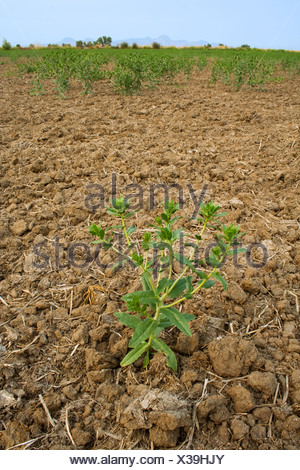 A dryland safflower crop that was dependent on spring rain that didn't arrive for germination suffers from drought / California. - Stock Photo