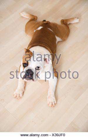 English Bulldog lying outstretched on wood floor looking at viewer - Stock Photo