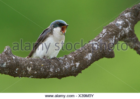 Tree Swallow (Tachycineta bicolor) perched on a branch in the Okanagan Valley, British Columbia, Canada. - Stock Photo