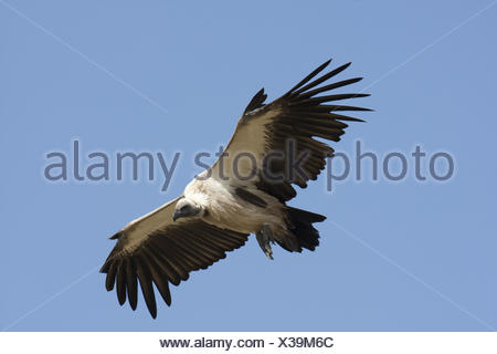 White backed Vulture in flight - Stock Photo