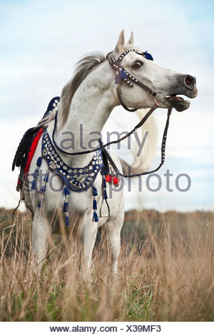 Thoroughbred Arab gelding, grey, wearing a traditional Egyptian bridle, neighing - Stock Photo
