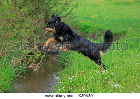 Hovawart jumping over brook, Germany - Stock Photo