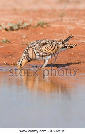 Sandgrouses pterocles alchata coming to drink from a waterhole in the Central Spanish steppes during the summer - Stock Photo