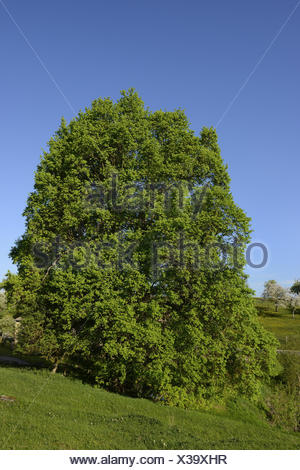 maple (Acer spec.), single tree in a meadow landscape in spring, Germany, Bavaria, Franken, Franconia - Stock Photo