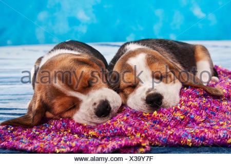 Two sleeping Beagle puppies - Stock Photo