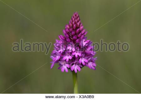 Pyramidal orchid (Anacamptis pyramidalis), flowering, Orchideenparadies Wasserliesch, Moselle, Rhineland-Palatinate, Germany - Stock Photo