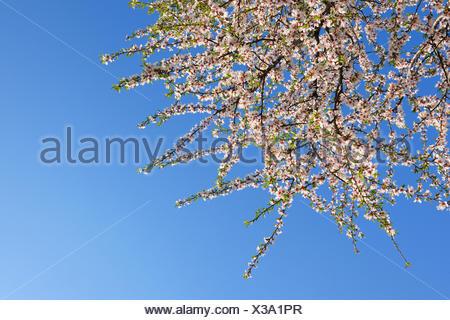 Almond (Prunus dulcis, Prunus amygdalus, Amygdalus communis, Amygdalus dulcis), flowering twigs in front of blue sky, Austria, Burgenland - Stock Photo