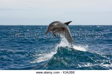 Off-shore Bottlenose dolphin leaping out of the water - Stock Photo