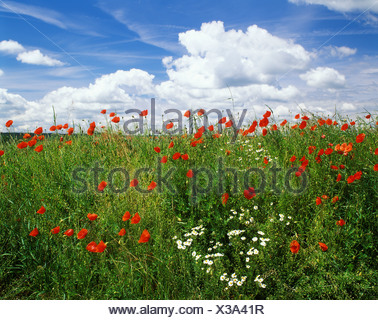 Papaver flowers meadow Oxey daisy - Stock Photo