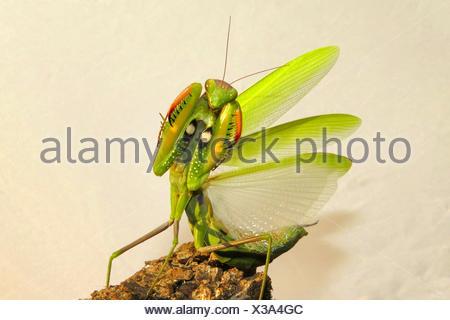 Europaeische Gottesanbeterin (Mantis religiosa), in Drohgebaerde, Spanien | European preying mantis (Mantis religiosa),  threate - Stock Photo