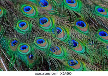 common peafowl (Pavo cristatus), feathers - Stock Photo