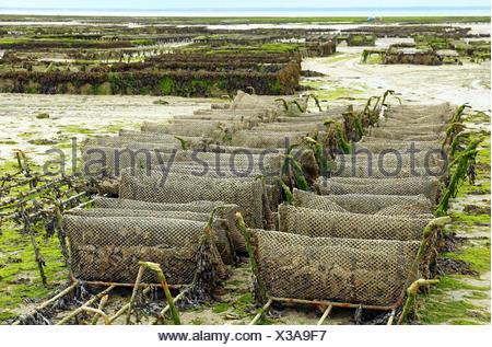 Austernzucht bei Cancale in der Bucht von Mont-Saint-Michel, Ärmelkanal, Département Ille-et-Vilaine, Bretagne, Frankreich, bei Ebbe - Stock Photo