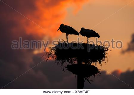 Pair of white stork (Ciconia ciconia) on artificial nesting pole at sunset - Stock Photo
