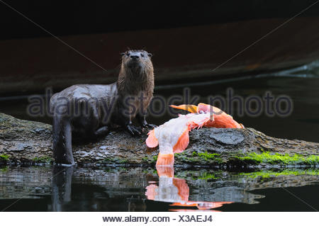River otter with red snapper at Prince Rupert, BC Canada - Stock Photo