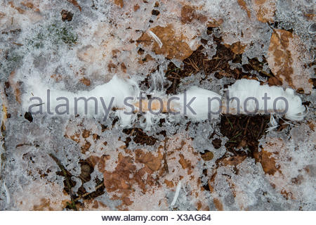 twig with hair ice on a thin layer of snow - Stock Photo