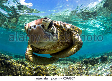 Close-up shot underwater of a turtle swimming in the reef, Queensland, Australia - Stock Photo