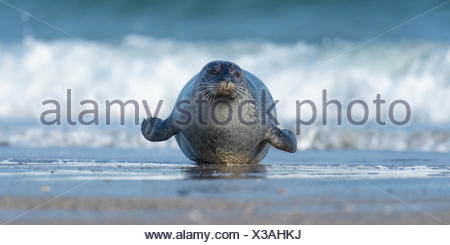 harbour seal, phoca vitulina, helgoland, north sea, germany - Stock Photo