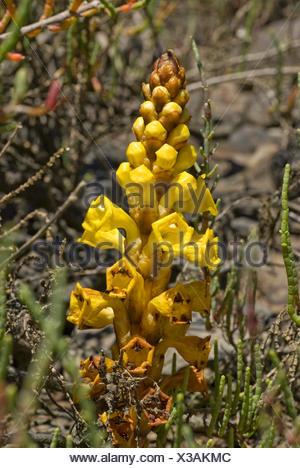 Yellow broomrape (Cistanche phelypaea), inflorescence, Portugal