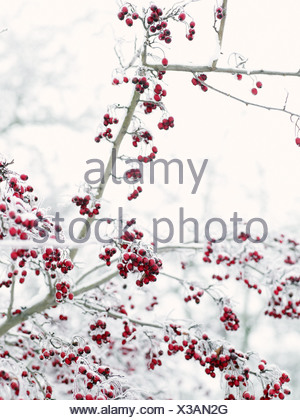 Berries covered with ice - Stock Photo