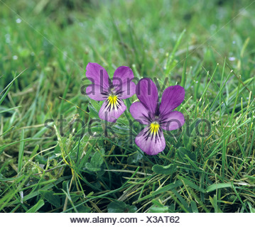 MOUNTAIN PANSY Viola lutea (Violaceae) - Stock Photo