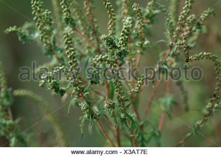 annual ragweed, common ragweed, bitter-weed, hog-weed, Roman wormwood (Ambrosia artemisiifolia), with fruits - Stock Photo