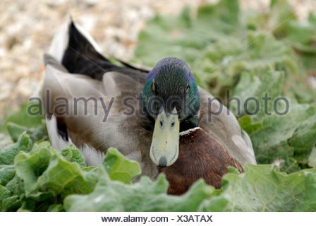 Mallard drake sitting among lakeside foliage at Abbotsbury Dorset - Stock Photo
