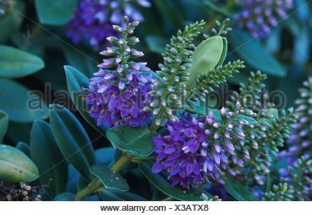 veronica (Hebe x andersonii), inflorescences Stock Photo: 6365496 ...