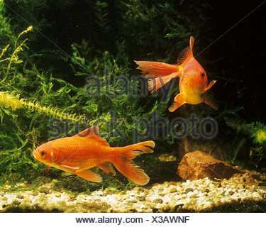 two goldfishes common carps Carassius auratus - Stock Photo