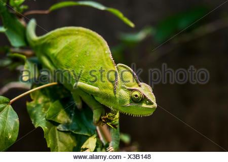 Yemen Chameleon or Veiled Chameleon (Chamaeleo calyptratus), Wilhelma Zoo and Botanical Garden, Stuttgart, Baden-Württemberg - Stock Photo