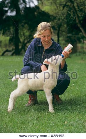 Domestic Sheep. Girl feeding lamb with bottle - Stock Photo