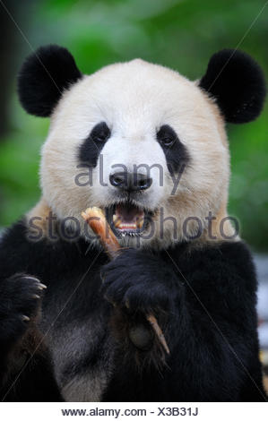 Head portrait of Giant panda (Ailuropoda Melanoleuca) feeding on bamboo. Bifengxia Giant Panda Breeding and Conservation Center, Yaan, Sichuan, China. - Stock Photo