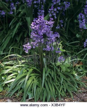 A flowering plant group of Spanish bluebells Hyacinthoides hispanica - Stock Photo