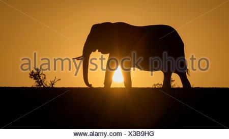 African elephant (Loxodonta africana), silhouette at sunset, Zimanga Private Game Reserve, KwaZulu-Natal, South Africa - Stock Photo