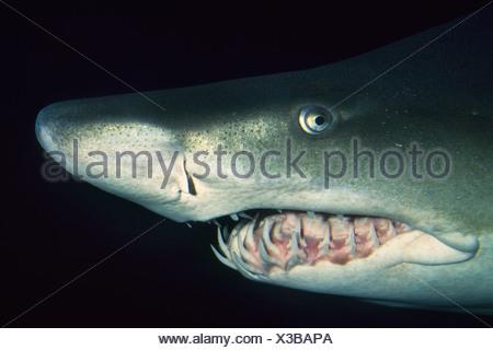 Vancouver Aquarium British Columbia Canada Sand tiger shark Carcharias taurus Vancouver - Stock Photo