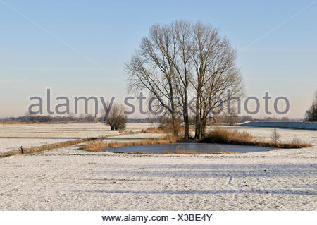 Grey Willow (Salix cinerea) at outer marches during winter, The Netherlands, Overijssel, National Landscape IJsseldelta - Stock Photo