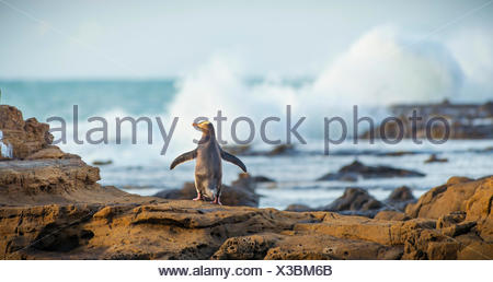 Yellow-eyed penguin, Hoiho (Megadyptes antipodes) on rock, drying its wings, Petrified Forest, Curio Bay, Southlands - Stock Photo