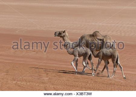 Dromedary (Camelus dromedarius), with young animals, in the desert, Wahiba Sands, Oman - Stock Photo