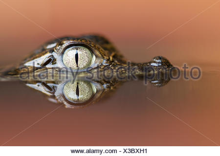 Head portrait of young Spectacled caiman (Caiman crocodilus) partially submerged in water, with reflection, Santa Rita, Costa Rica - Stock Photo