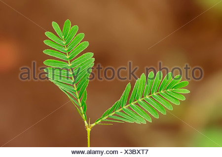 Mimosa, Sensitive Plant or Touch-me-not (Mimosa pudica), leaves, native to South America, ornamental plant - Stock Photo